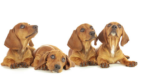 Four Dachshund Puppy stock footage