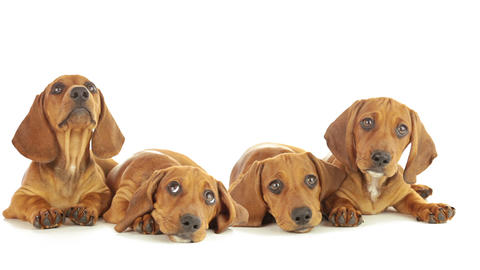Four dachshund puppy Stock Video Footage