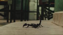 Scorpion turning Footage