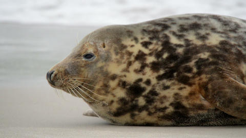 young grey seal watch out 11253 Stock Video Footage