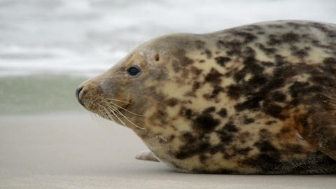 young grey seal watch out 11253 Footage
