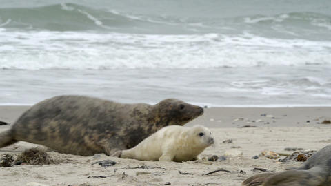 agressiv female grey seal attack 11255 Stock Video Footage