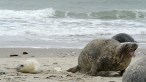 agressiv female grey seal attack 11255 Footage