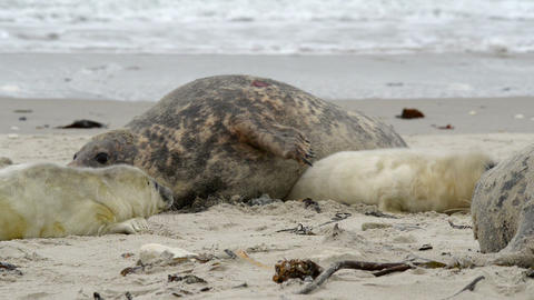 female grey seal wth threatening gestue pup 11257 Stock Video Footage