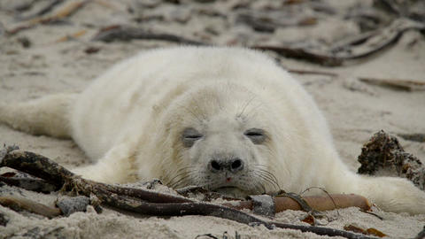 sweet little grey seal pup yawns 11259 Stock Video Footage