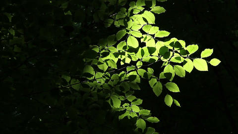 Glowing Leaves Footage