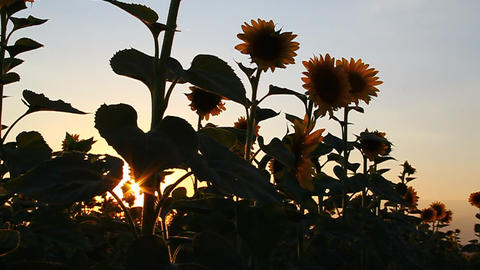 Beautiful sunflowers in bloom at dawn Stock Video Footage