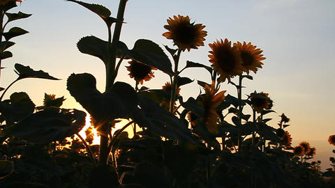 Beautiful Sunflowers In Bloom At Dawn stock footage