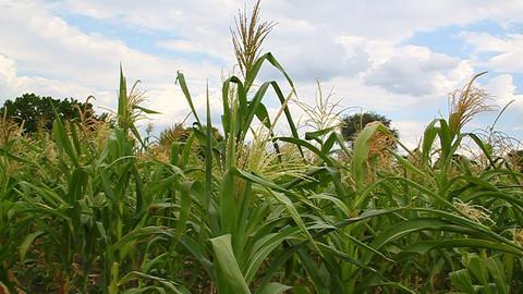 Corn flowers in a field Footage
