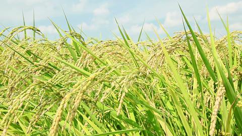 rice plant Footage