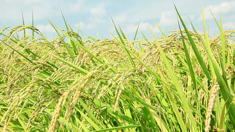 rice plant Stock Video Footage