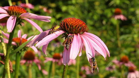 Wasp on coneflower Stock Video Footage