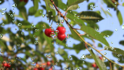 cherry branch Stock Video Footage