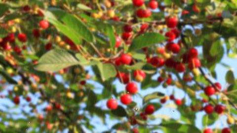 cherry branch Stock Video Footage