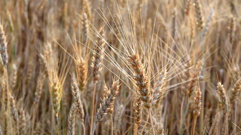 wheat ears Stock Video Footage