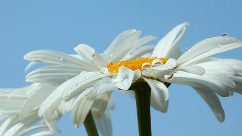 Camomile flower with dew Stock Video Footage