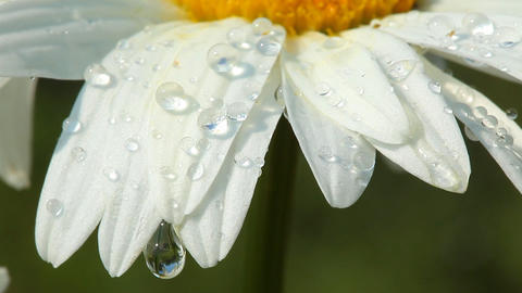 Camomile flower with morning dew Footage