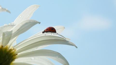 Ladybird on chamomile flower Stock Video Footage