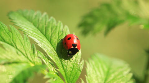 Ladybird Stock Video Footage