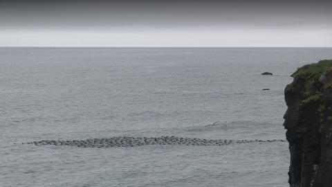 seabirds riding on ocean waves wide shot taken in Stock Video Footage