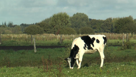 cattle grazing in green pasture Stock Video Footage