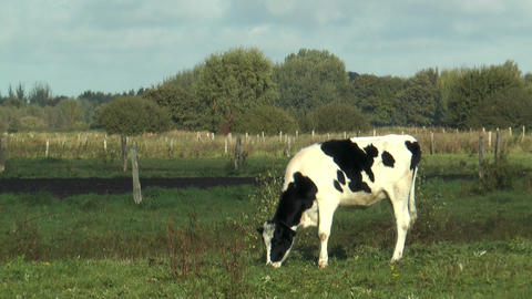 cattle grazing in green pasture Footage