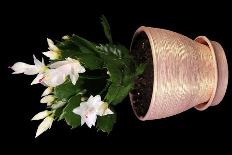 4K. Epiphytic cactus. White schlumbergera flower b Footage