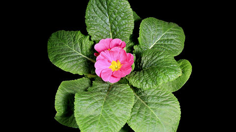 Flowering pink primula on the black background (Pr Footage