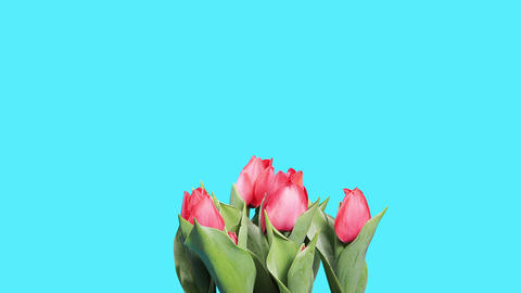Blooming red tulips flower buds ALPHA matte, timel Stock Video Footage