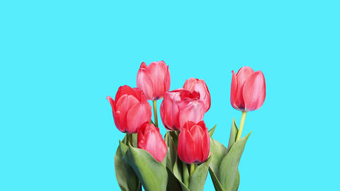 Blooming red tulips flower buds ALPHA matte, timel Footage