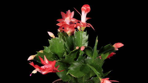Epiphytic cactus. Red schlumbergera flower buds AL Footage