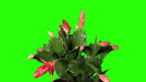 Epiphytic cactus. Red schlumbergera flower buds gr Footage