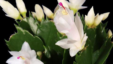 Epiphytic cactus. White schlumbergera flower buds Footage