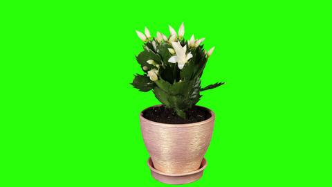 Epiphytic cactus. White schlumbergera flower buds Stock Video Footage