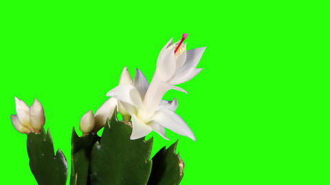 Epiphytic cactus. White schlumbergera flower buds Stock Video Footage