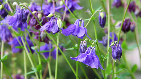 Blue and maroon aquilegia flowers on a green meado Stock Video Footage
