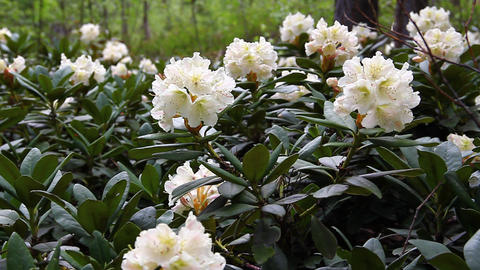 Caucasian rhododendron blooms in the woods Stock Video Footage