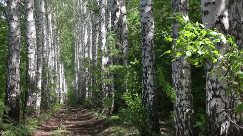 summer birch woods alley in Russia Stock Video Footage