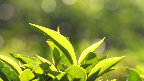tea plants close-up in Munnar Kerala India Stock Video Footage