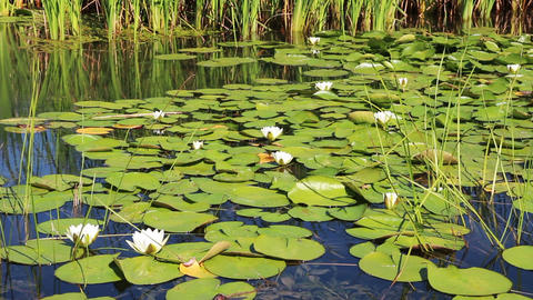 water-lily flowers and leaves on pond Footage