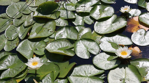 water-lily flowers and leaves on pond Stock Video Footage