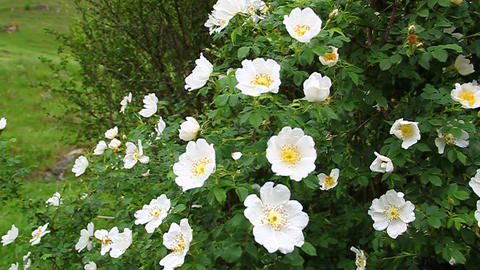 Twig white wild rose hips swaying in the wind Footage