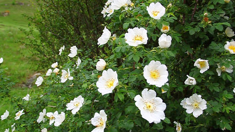 Twig white wild rose hips swaying in the wind Stock Video Footage