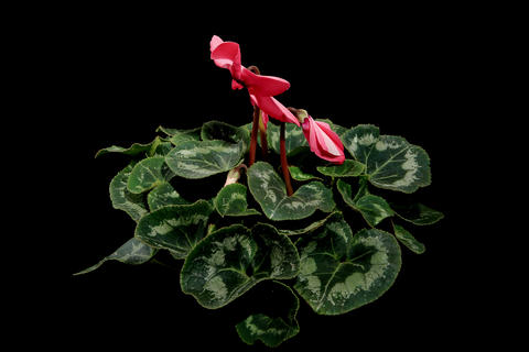 4K.Flowering pink cyclamen on the black background Stock Video Footage