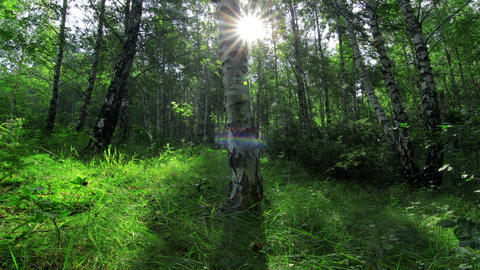 morning in a birch forest Stock Video Footage