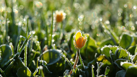frozen spring flower Stock Video Footage