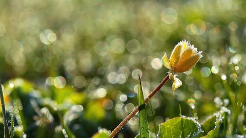 frozen spring flower Footage