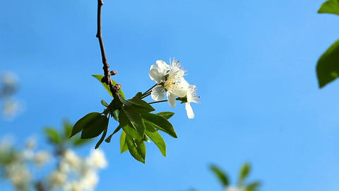 flowering tree - macro Stock Video Footage