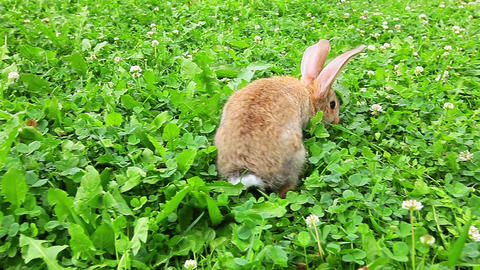 rabbit on a green lawn Footage