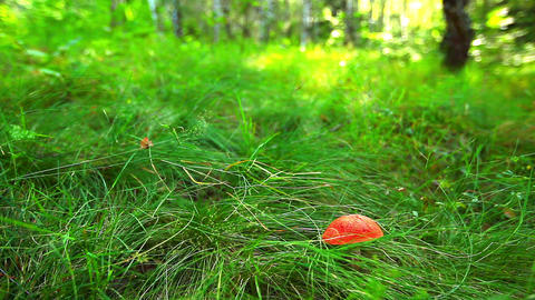 mushroom in green grass Stock Video Footage